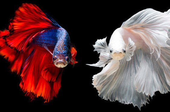 betta fish for sale - Petland Frisco