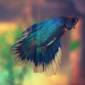 Betta fish available for sale petland frisco texas pet for Betta fish sale