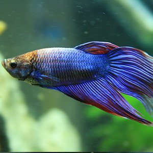 Betta fish available for sale petland frisco texas pet for Fish that get along with betta