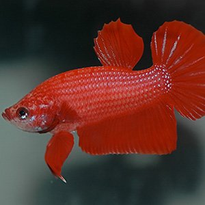 Betta Fish Available For Sale Petland Frisco Texas Pet Store