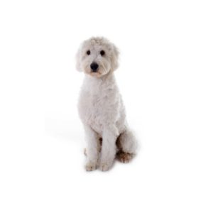 Goldendoodle Puppies Breed Info - Petland Frisco, TX