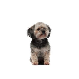 """37be9606fc1 Teddy Bear puppy  is also known as a Shichon or  a  Zuchon and it is a  cross between Bichon Fris̩ and Shih Tzu. the  Teddy Bear  is a dog """"known  for his ..."""