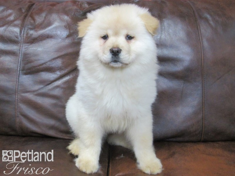Chow Chow Puppies Petland Frisco Tx