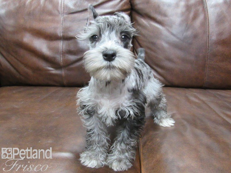 Miniature Schnauzer Dog Male Liver White 2667445 Petland