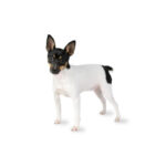 Petland Frisco, TX Toy Fox Terrier